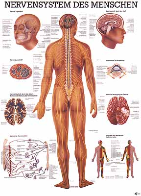 288 x 400 jpeg 32kB, Anatomie Des Menschen Organe Pdf Pictures to pin ...